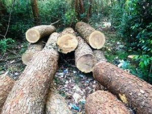 TIMBER THEFT: A Growing Problem